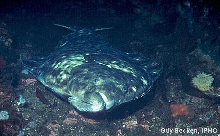 California's Pacific Halibut