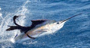 guatemala-sailfish Casa Vieja Lodge News