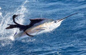 guatemala-sailfish Casa Vieja Lodge News