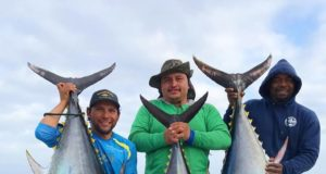 bluefin and yellowfin tuna