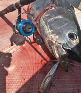 bluefin bite