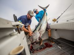 bluefin tuna fish caught