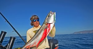 yellowtail reports