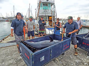 giant bluefin tuna in a dock cart