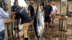 weighing a giant bluefin tuna