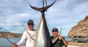 giant yellowfin