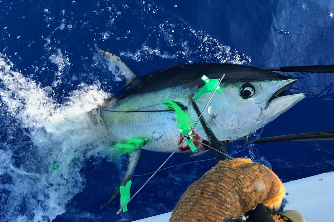 Mahi and even Marlin. TUNA BITE Daisy Chain Trolling lure for Tunas