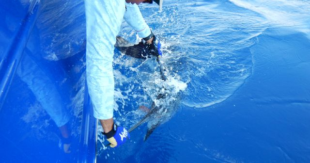 billfish in costa rica