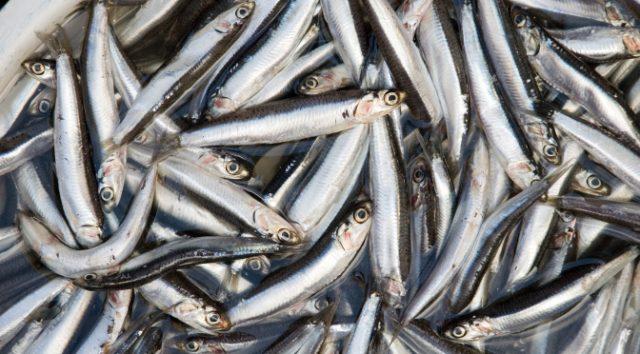 Fish Bass Tuna SoCal Fishing