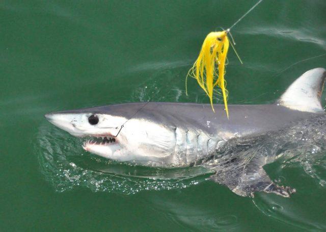 fly fishing mako sharks
