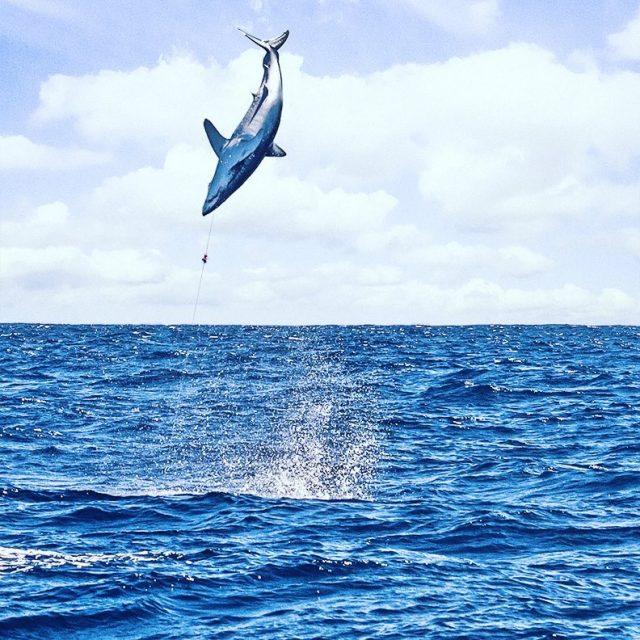 hooked mako shark doing backflips while fly fishing