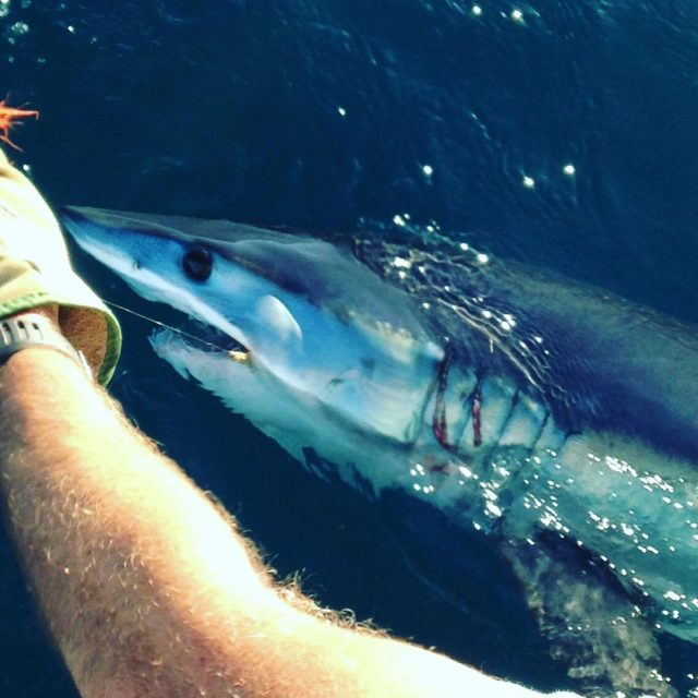 fly fishing mako sharks catch and release