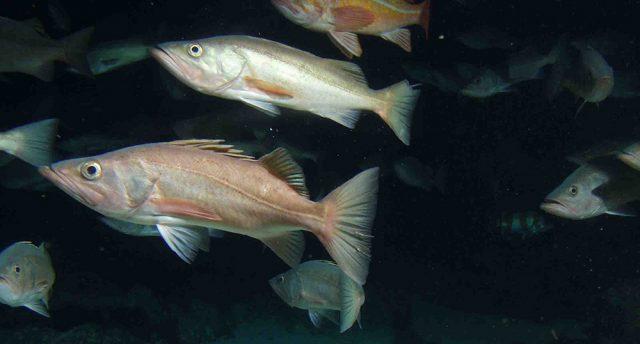 California groundfish rules