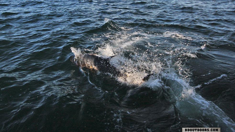 PEI Bluefin Tuna