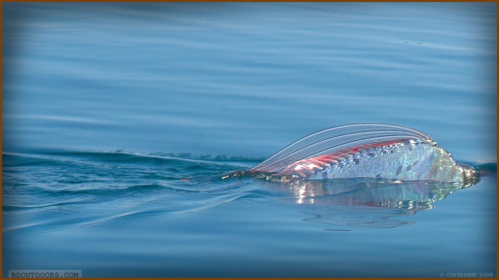 Sea Creatures | Oarfish | Sea Serpent | Isla San Marcos ... Oarfish Swimming