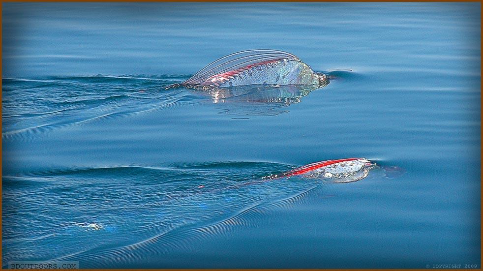 Oarfish Sea Serpent Caught Alive At San Marcos Island Oarfish Swimming