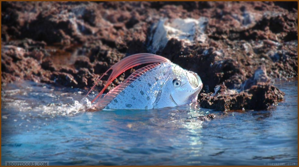 oarfish committing suicide on rock