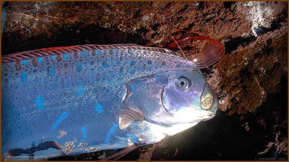 oarfish flashing blue spots