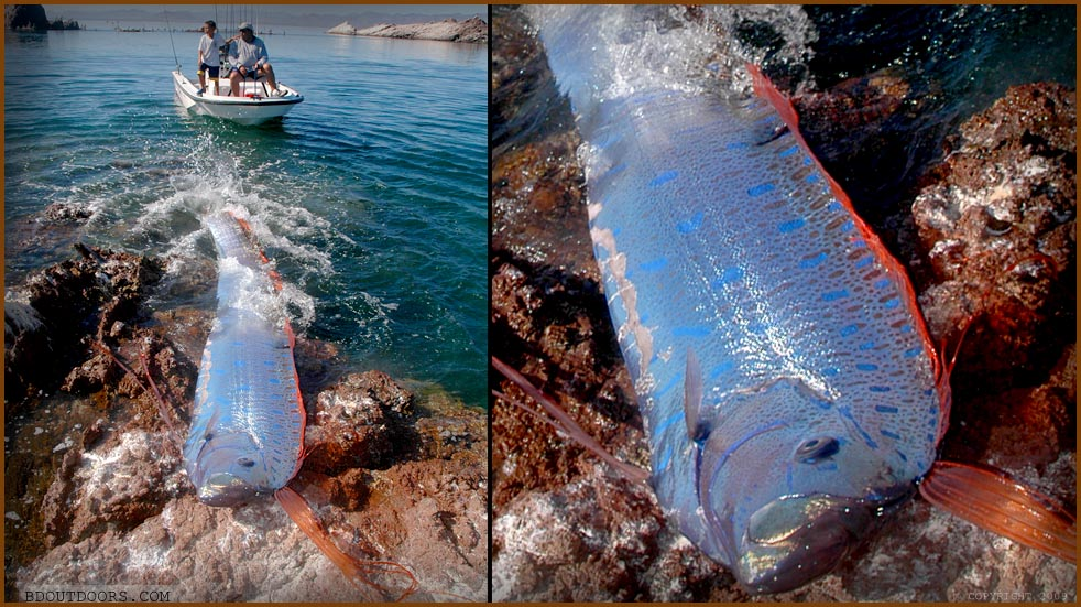 San Marcos Mike Oarfish Discovery