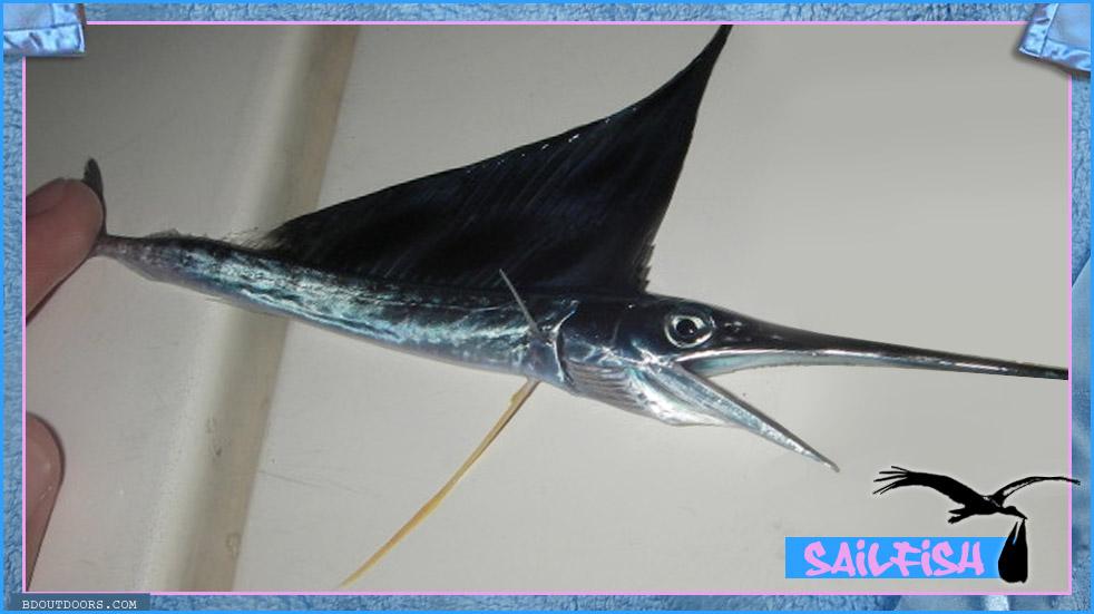 small frys fish baby sailfish juvenile fish bdoutdoors